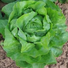 Seme salate